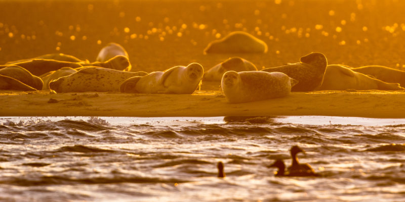 Harbor Seals (Phoca vitulina) on sandbank in orange glow of setting sun in the Wadden sea Netherlands