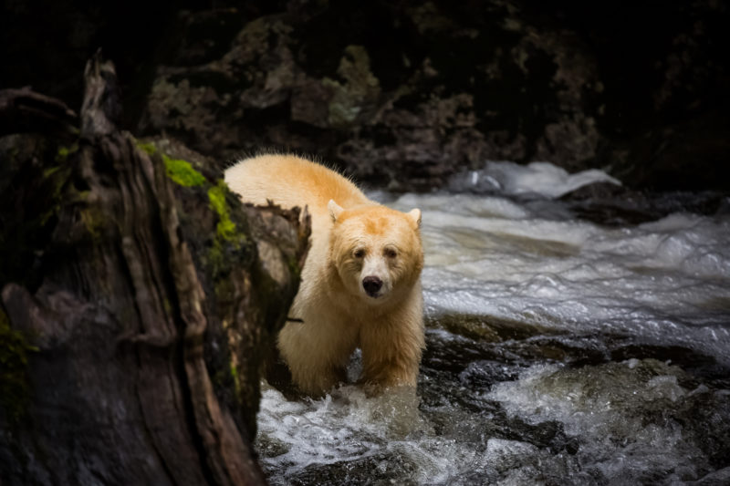 Spirit Bear, Great Bear Rainforest, BC, Canada