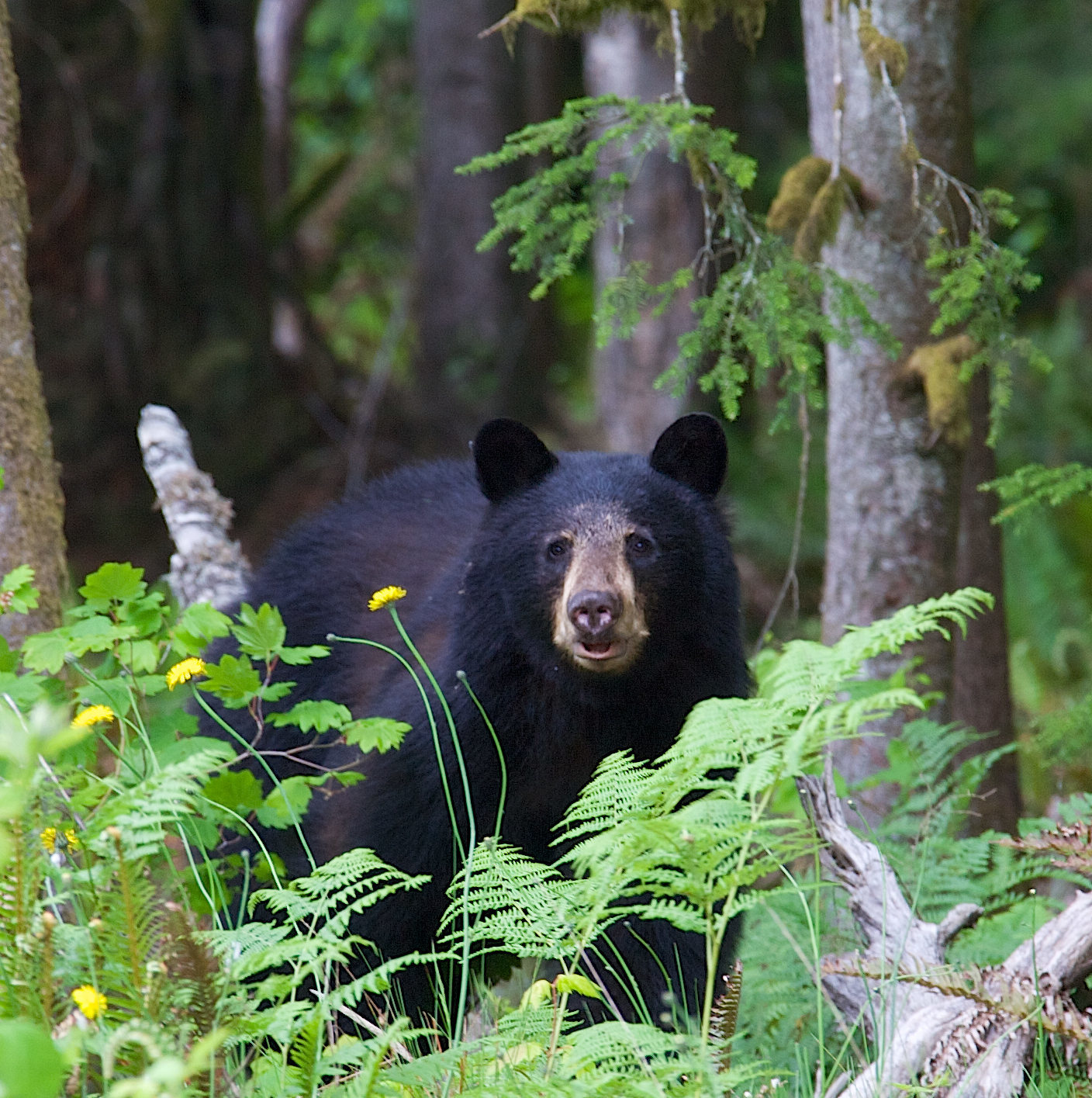 Black bear in a forest in British Columbia Canada