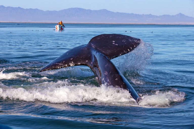 oksanaphoto Canva Grey whales 3 768x512