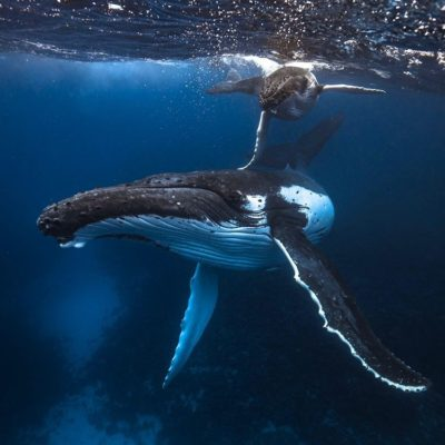 Positive Oceans/ Mother and Child Humpback Whale