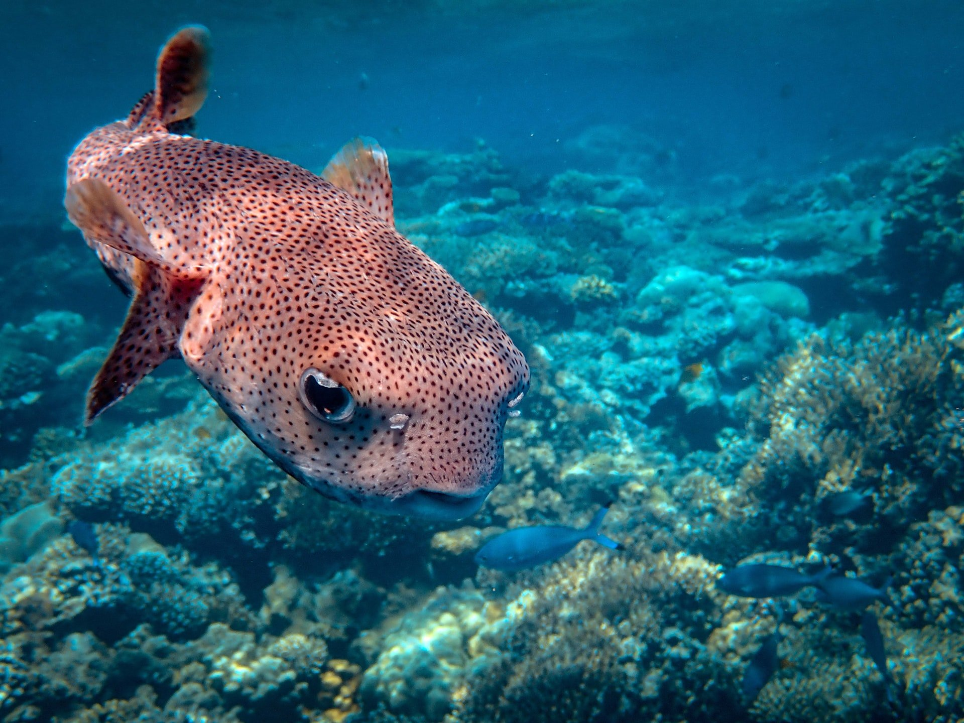 Positive Oceans Puffer Fish in the Sea
