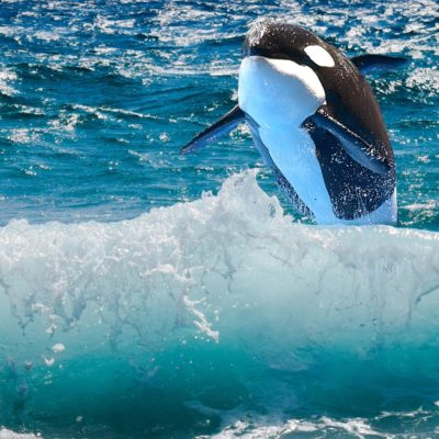 Positive Oceans Killer While more commonly known as Orca