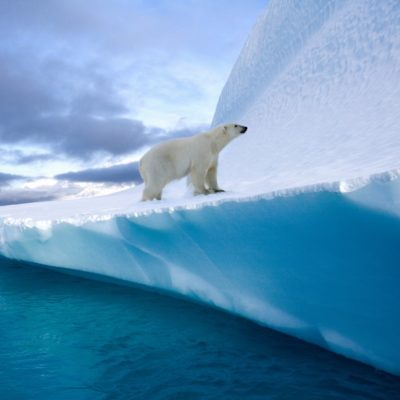 Positive Oceans Polar Bear (Ursus maritimus) on an iceberg in Northwest Fjord in eastern Greenland.