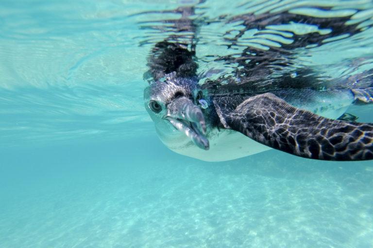 galapagos penguin swimming underwater galagapos ec P4NK2BN 1 768x512