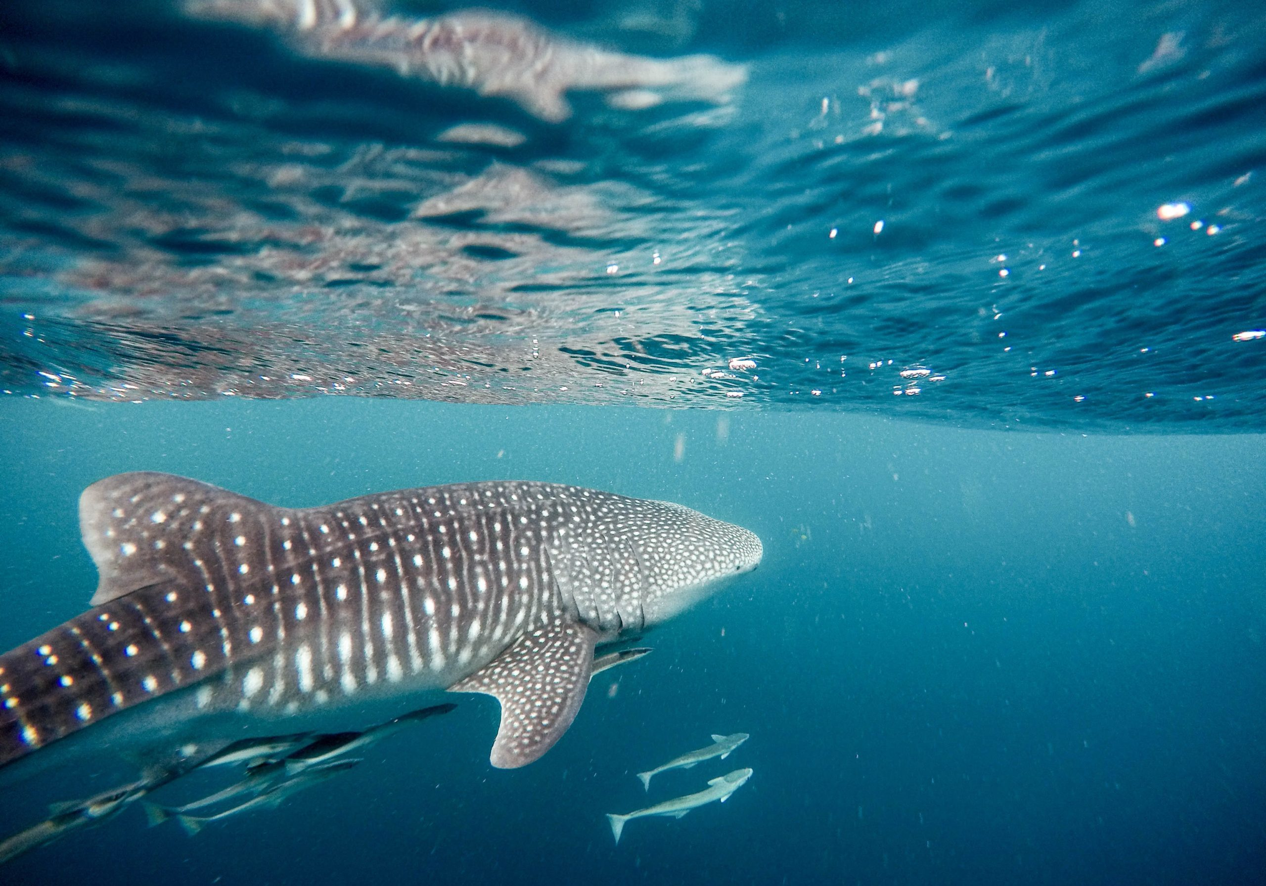Positive Oceans Whale Shark